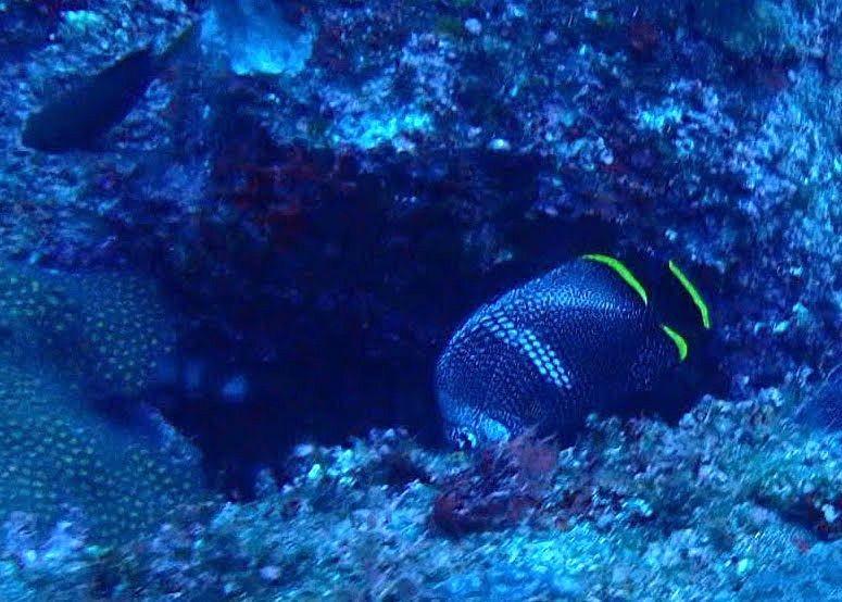 八丈島でよく見られる魚 ユウゼンです。