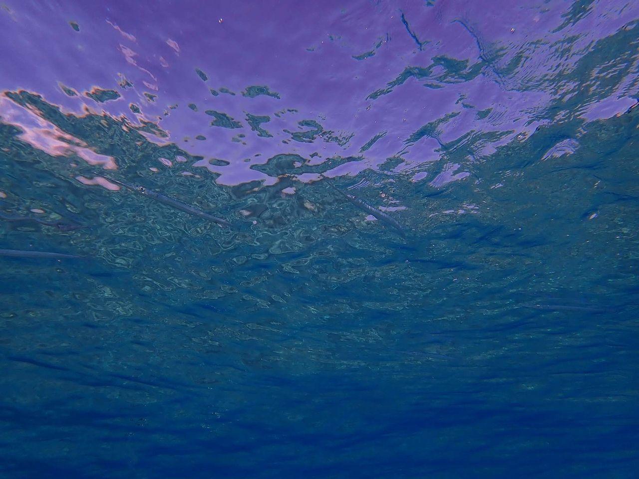 水面のほうにいる細長いサカナはサヨリです。